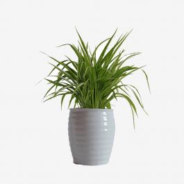 Ferns N Petals Money Plant Golden Plant